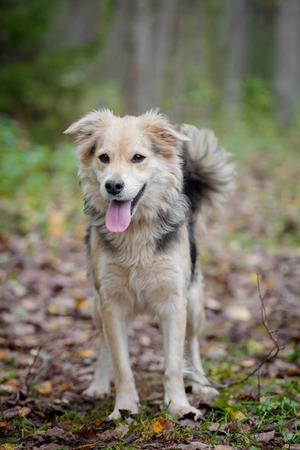 half breed: Mixed breed dog in the autumn forest