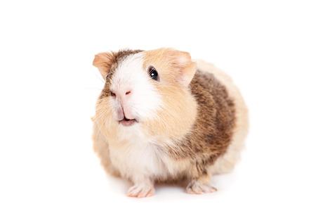 Guinea pig on a white photo