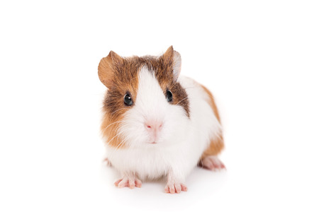 Guinea pig baby  Stock Photo
