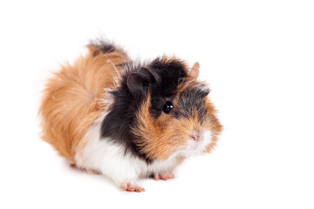 covet: Guinea pig on a white