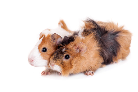 Two guinea pigs isolated photo