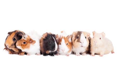 guinea pig: Group of 6 guinea pigs
