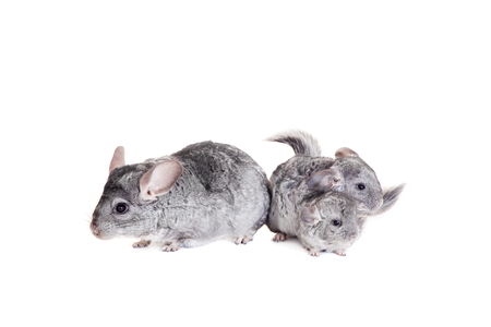 Chinchilla with babies on white Stock Photo