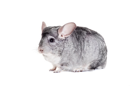 Chinchilla isolated on white Stock Photo