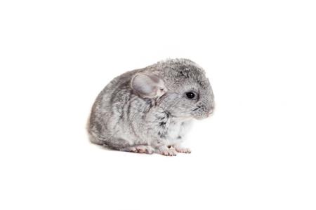 evaluable: Baby chinchilla isolated on white