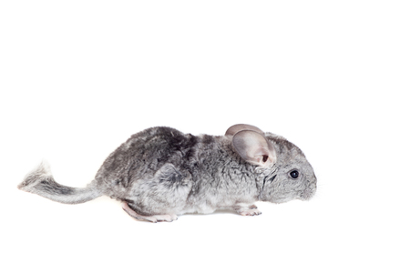 Baby chinchilla isolated on white