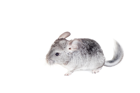 lanigera: Baby chinchilla isolated on white