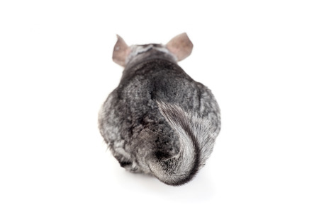 Chinchilla, focus on tail Stock Photo