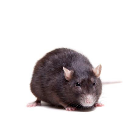 Rat, 3 year old on white Stock Photo - 29540659