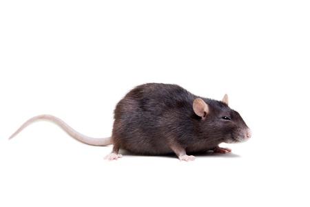 쥐, 3 년 오래된 흰색 스톡 콘텐츠