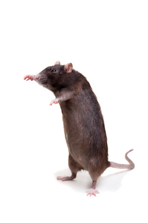 3 year old: Rat, 3 year old on white