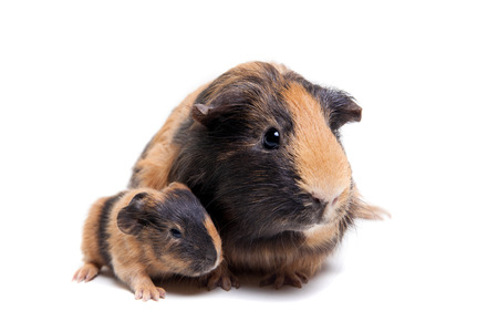 3 little pigs: Mother Guinea Pig and her baby Stock Photo
