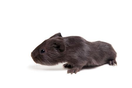 Guinea pig baby photo
