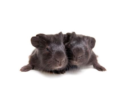 Two black Guinea pig babies photo