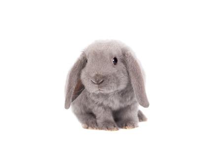 Grau Hängeohrenkaninchen Rex Zucht Standard-Bild