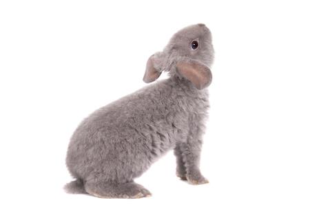 Grey lop-eared rabbit rex breed photo