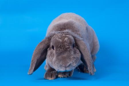 Grey lop-eared rabbit rex breed on blue photo