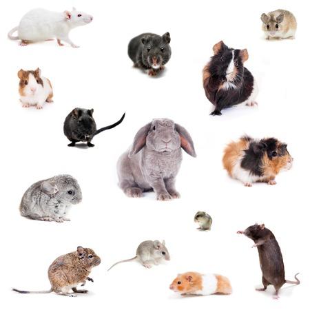 lapin blanc: Ensemble différentes spieces de rongeurs Banque d'images
