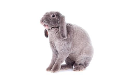 Yawn Grey lop-eared rabbit rex breed photo