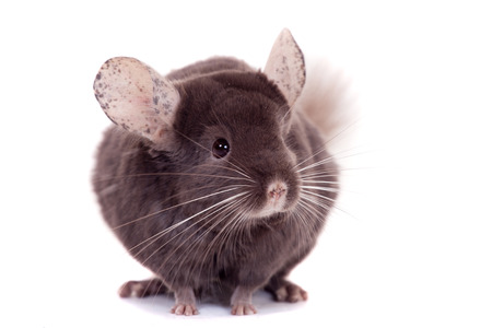 Violet ebonite chinchilla on the white Stock Photo