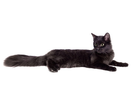 Side view of a Black Cat on white photo