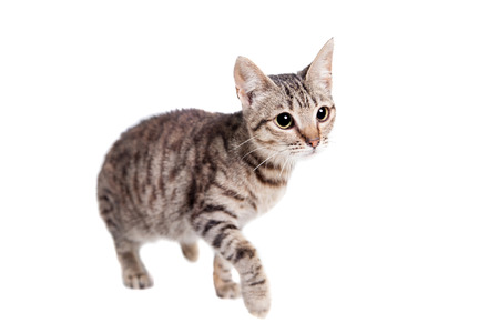 Thin adult tabby cat photo