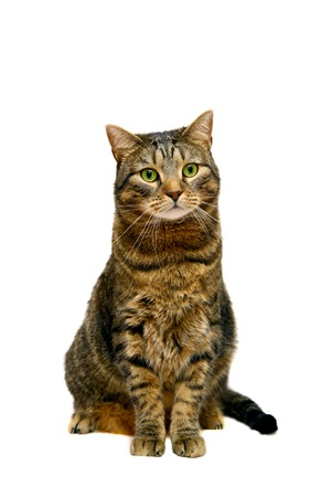 Large adult tabby cat on white photo