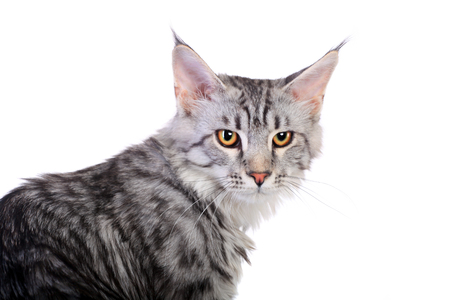 silver perch: Silver tabby maine coon kitten, 5 month Stock Photo