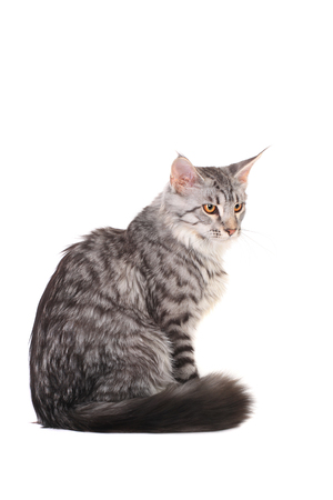 maine coon: Silber Tabby Maine Coon Kitten, 5 Monate
