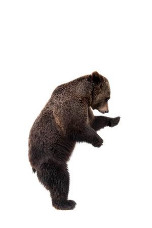 Bruin draag, Ursus arctos
