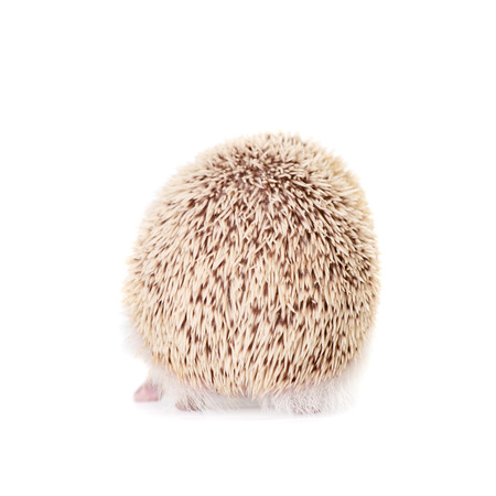 pygmy: Domesticated hedgehog or African pygmy Stock Photo