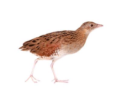 endangered species: Corncrake or Landrail, Crex crex, on white Stock Photo