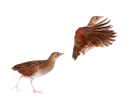 breeder: Corncrake or Landrail, Crex crex, on white Stock Photo