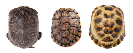freshwater turtle: Tortoiseshell on white