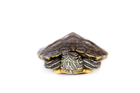 freshwater turtle: Freshwater red-eared turtle on white
