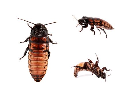 hissing: Madagascar sibilo scarafaggio su bianco Archivio Fotografico