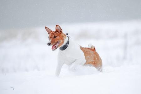 brindle: Agility Brindle basenji running on the snow meadow