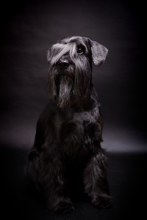 schutz: Beauty Miniature Schnauzer on the black background Stock Photo