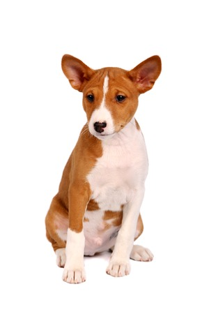 trustful: Little Basenji puppy, 2 month, on the white background Stock Photo