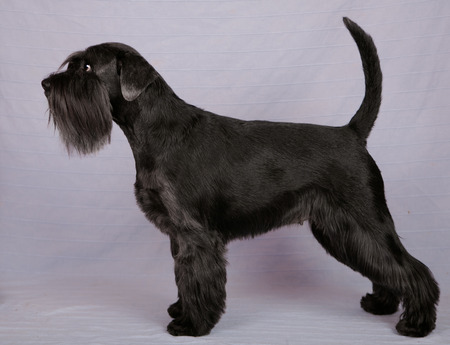 schutz: Black miniature Schnauzer on the gray background