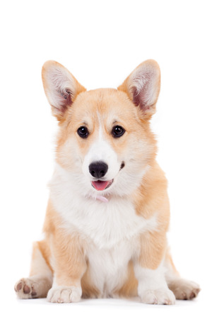 Pembroke Welsh Corgi puppy isolated on a white background Stock Photo