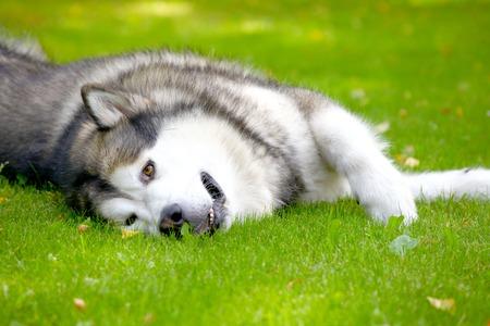 Alaskan Malamute lying on the green grass photo