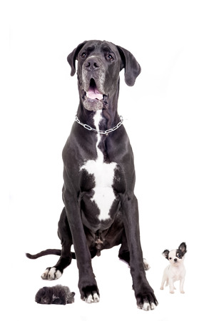 Great Dane with chihuahua and Pomeranian puppies on white