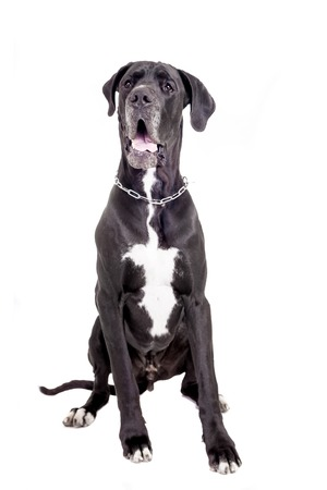 great dane: Black Great Dane isolated on white background