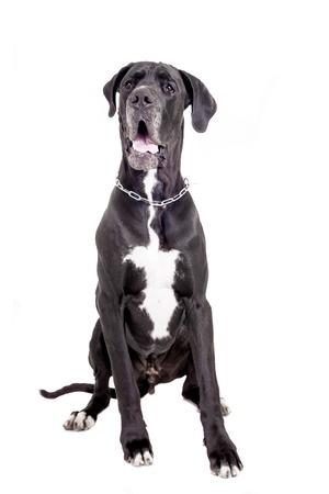 Black Great Dane isolated on white background
