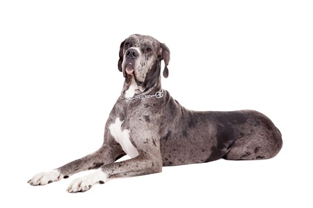 great dane harlequin: Blue Merle Great Dane sitting head shot isolated on white background