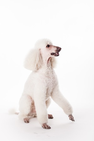 royal background: White Royal poodle isolated on white background