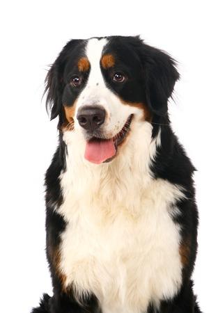 sennenhund: Bovaro Bernese, Berner Sennenhund, su sfondo bianco