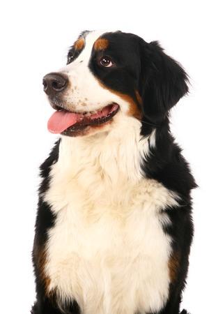 sennenhund: Bernese mountain dog, Berner Sennenhund, on white background Stock Photo