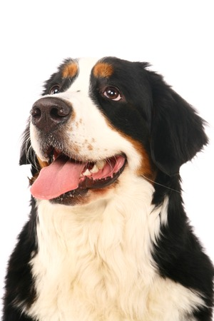 berner: Bernese mountain dog, Berner Sennenhund, on white background Stock Photo